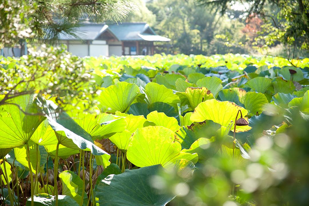 境内ですくすくと育つ蓮の葉
