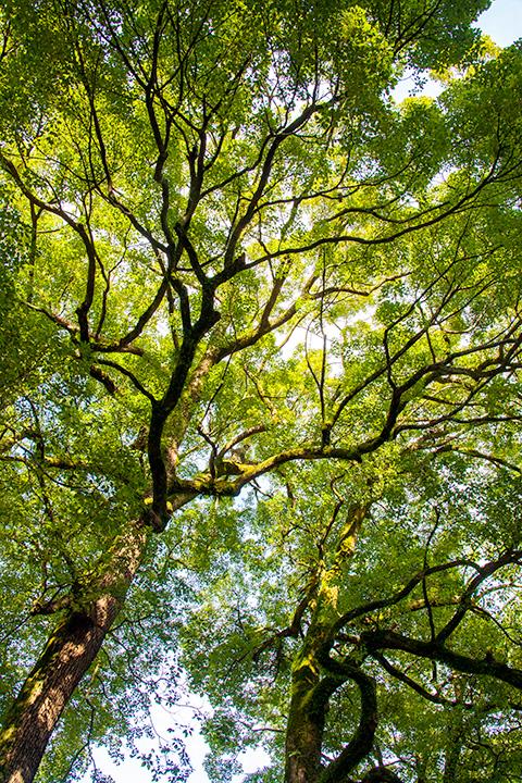 境内の大きな木のようにすくすくとした成長を