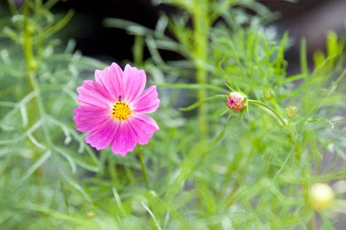 開花したコスモス