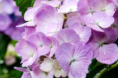 水滴が美しい紫あじさい