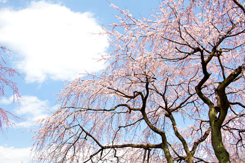 あざらしが桜を食べにきた