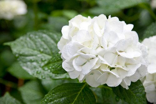白色のアジサイ