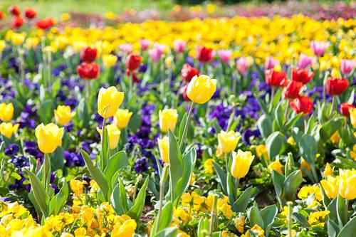 春の風景 チューリップ畑